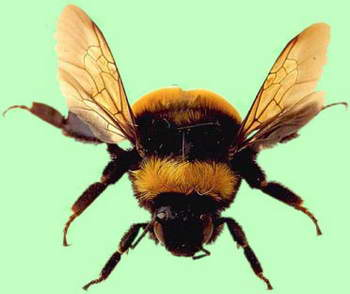 a bumblebee not from Transformers