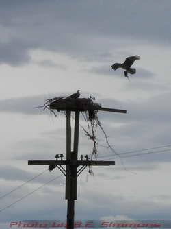 Osprey Nest, no shaky-cam here
