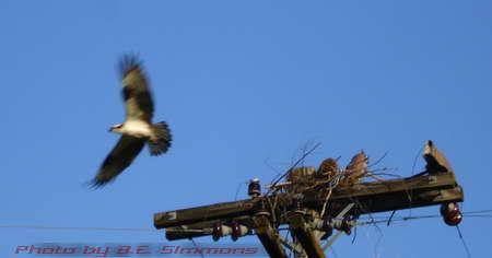 Osprey shaky cam