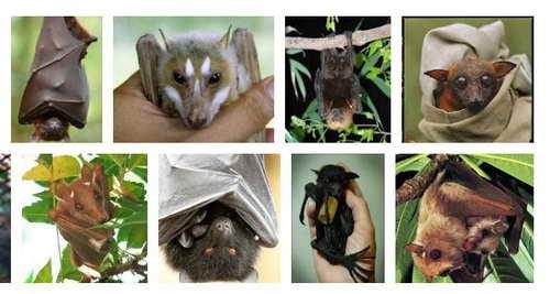 Google image search result for fruit bats