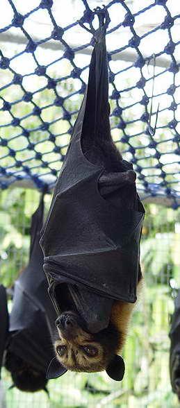 Spectacled Fruit Bat - Pteropus Conspicillatus (http://en.wikipedia.org/wiki/File:Pteropus_conspicillatus.jpg)