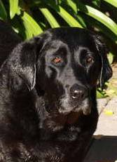 Dog - Mans Best Friend - A Black Labrador Retreiver