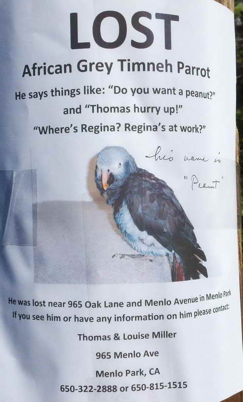 Lost Parrot in Menlo Park