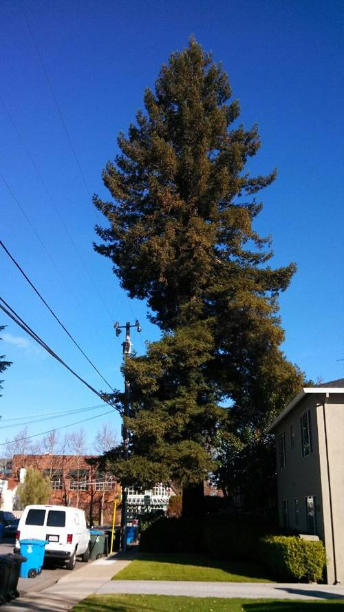 Redwood on Menlo Ave near Draeger's, getting the axe