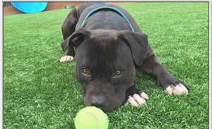 Sam, A Pit Bull Needing a home